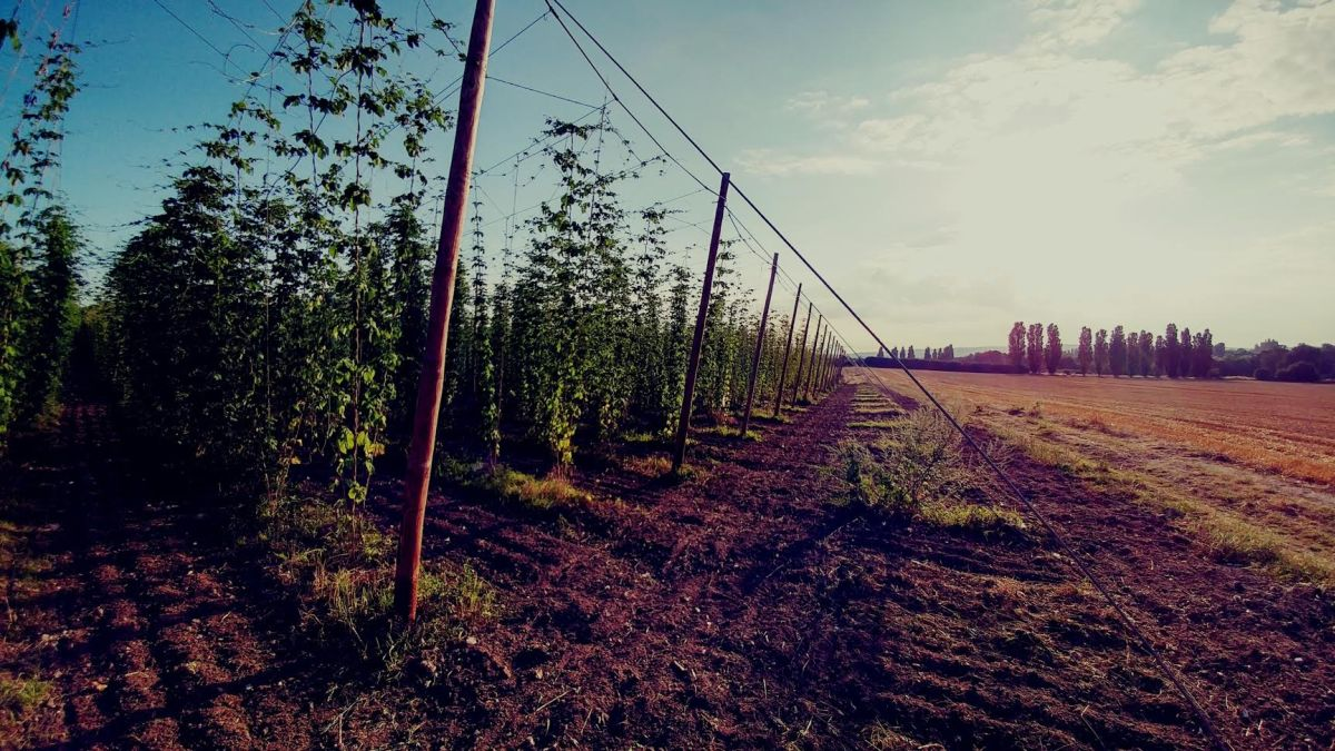 Healthy hop harvest expected at Hogs Back Brewery due to favourable weather