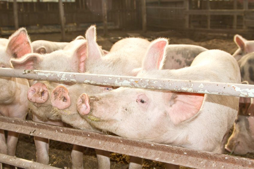 Farmers warned as swine dysentery detected in Yorkshire