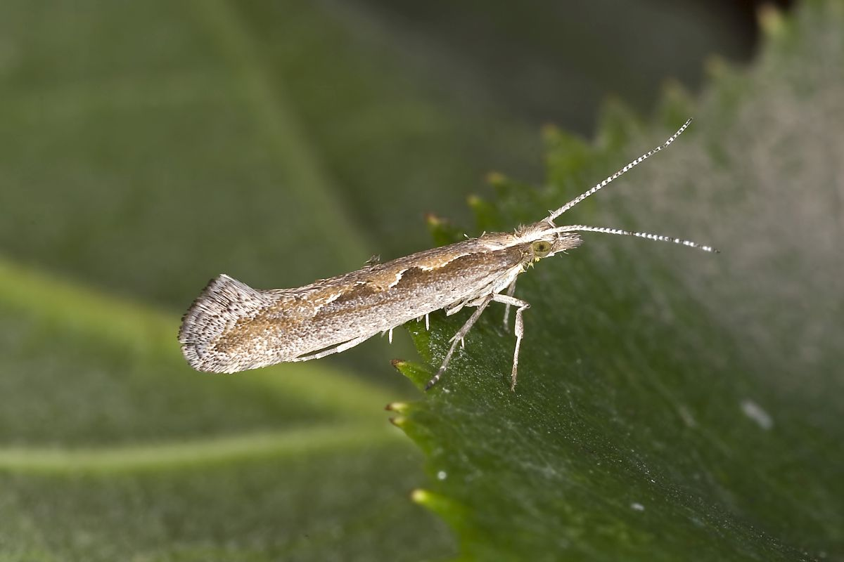 Diamondback moth is a pest of Brassica crops including oilseed rape