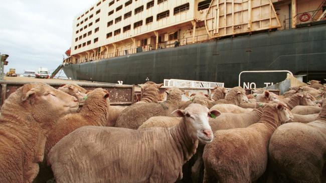 Sheep moving onto a ship for export