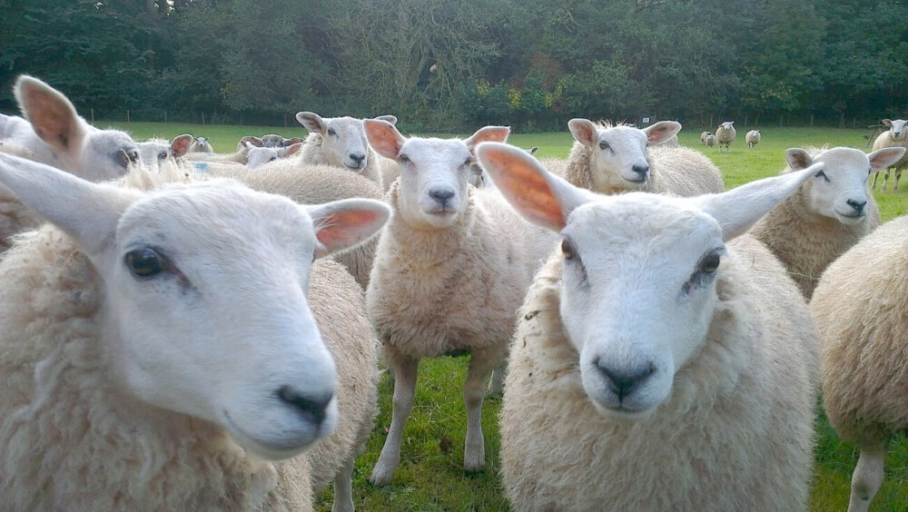 Falling farm revenues prompt action plan for Scotland's sheep farmers