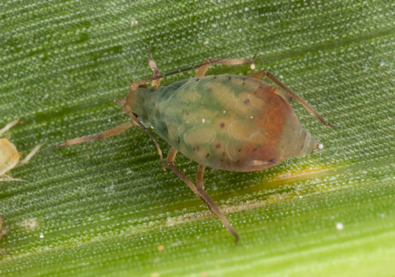 Scientists request live examples of cereal pest to safeguard efficiency of insecticides