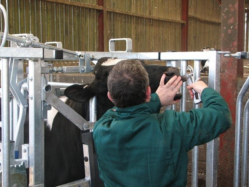 Autumn calving cows need optimum mineral management