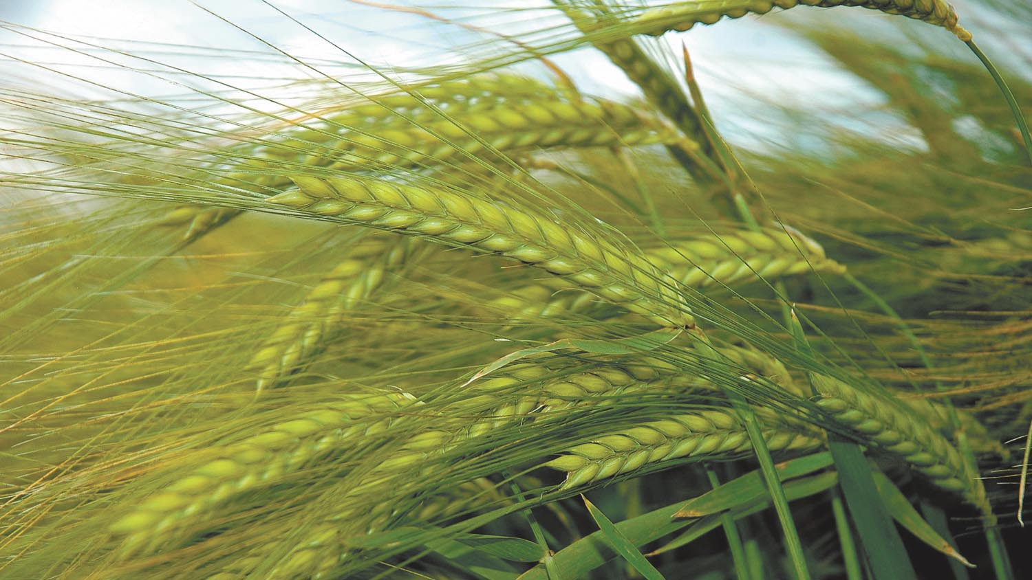Keep winter barley competitive for weed control