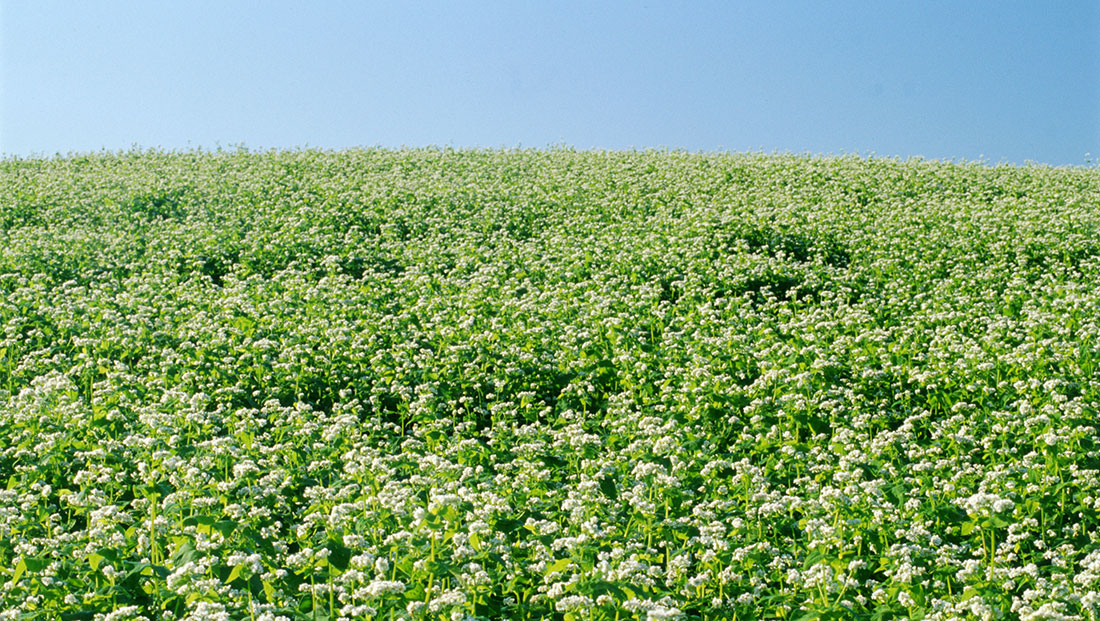 Kellogg's farming 'cookbook' reveals the ground-breaking benefits of cover cropping‏