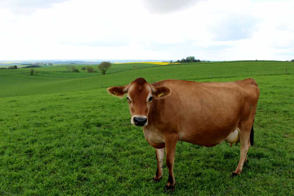 Asian market offers golden opportunity for Jersey dairy