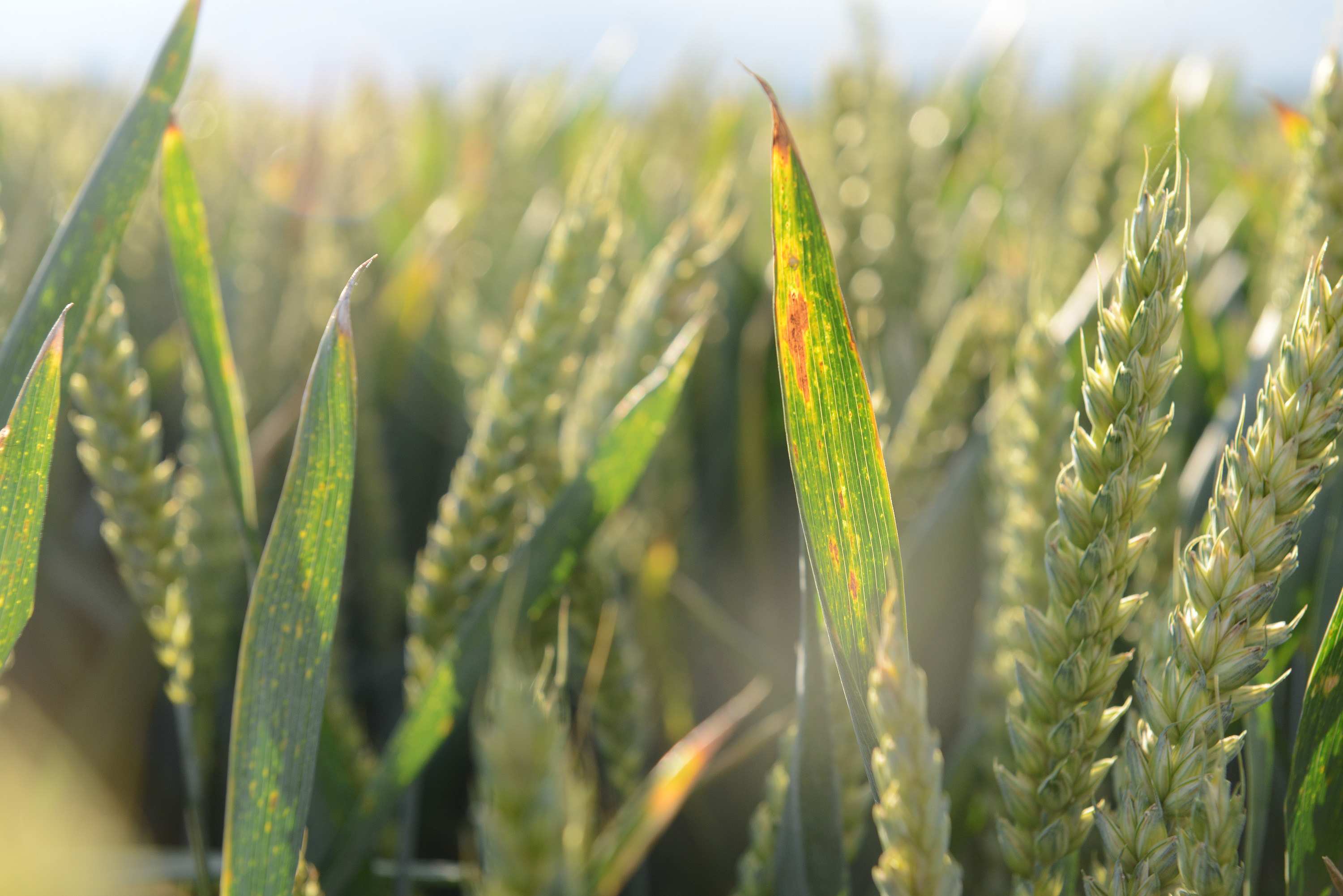 Cereal crops face high risk of BYDV infection this season