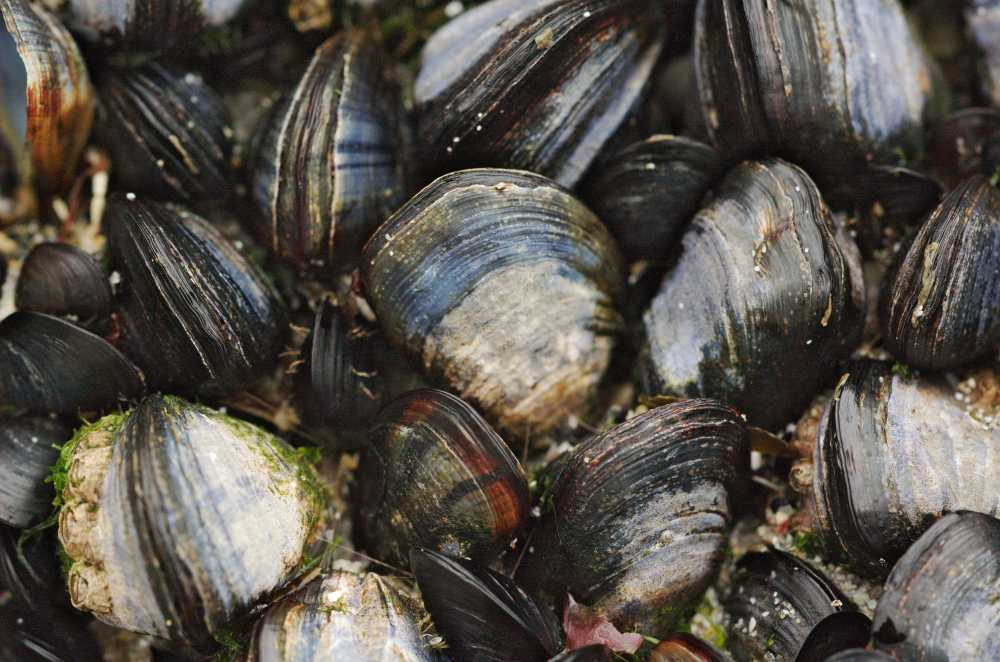 Satellite data to ease shellfish farmers' woes of crippling costs due to harmful algal blooms