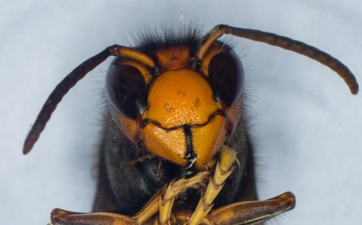'Threat to native honey-bee': Asian hornet sighted in Gloucestershire