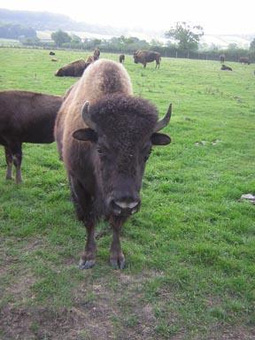Bison and Deer farming...