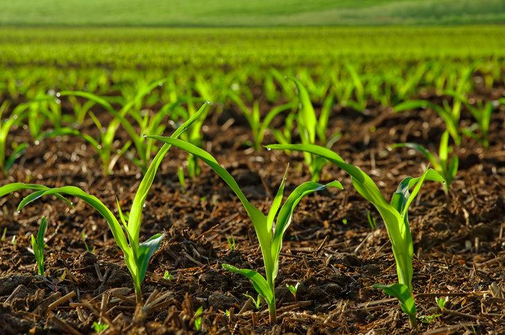 MEPs oppose EU plans to authorise five GMOs