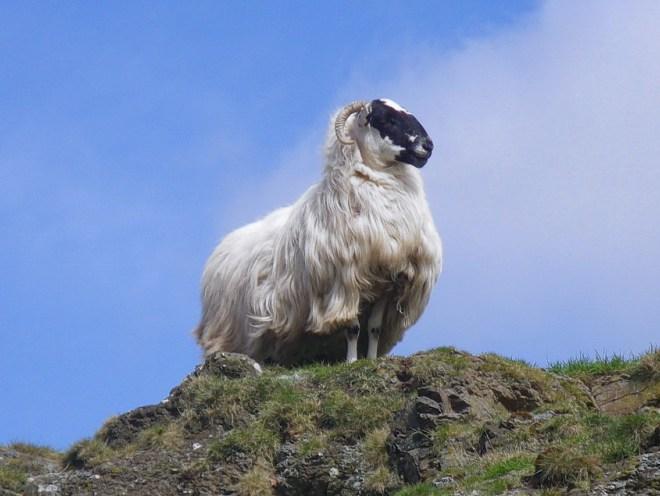 Warning on ewe hogg rates as Upland Sheep Scheme closes on Monday