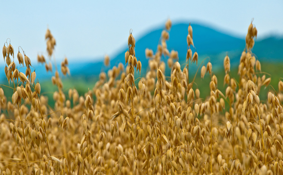 Demand for oats soars as world oat trade continues to increase, according to AHDB