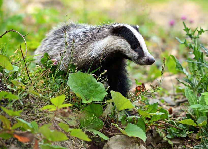 The UK government says bovine TB costs taxpayers over £100 million every year