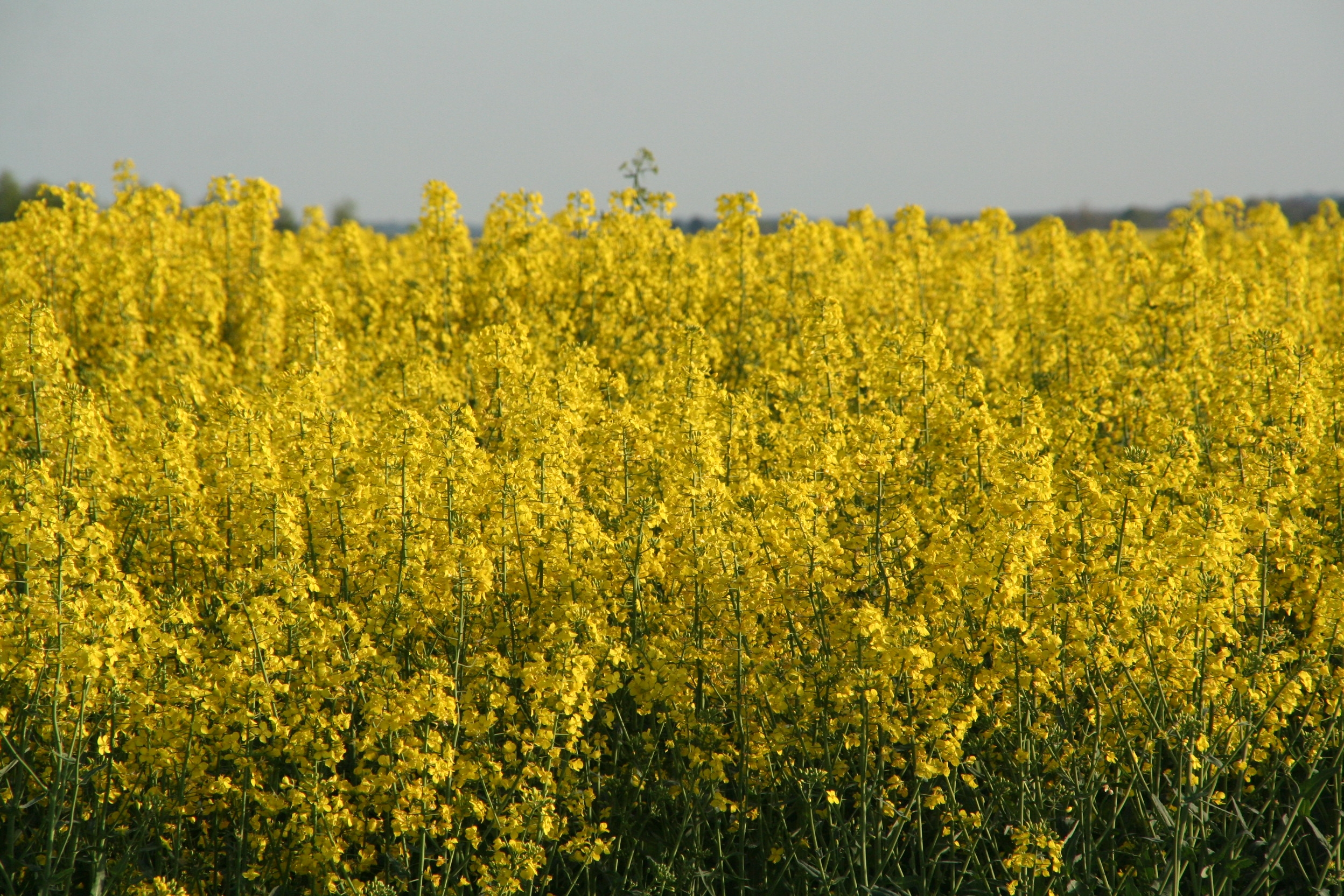 OSR growers urged to join Voluntary Initiative
