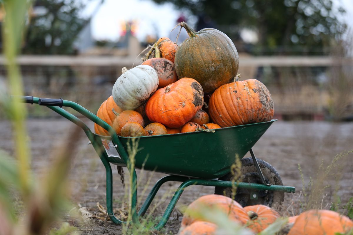 UK's largest pumpkin festival gets underway as farmers increasingly diversify