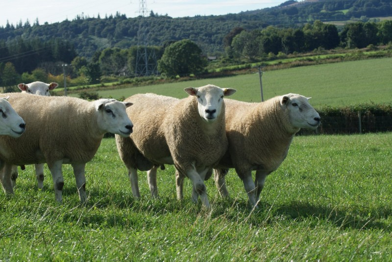 Sheep sector urges farmers to complete study to better understand health of rams