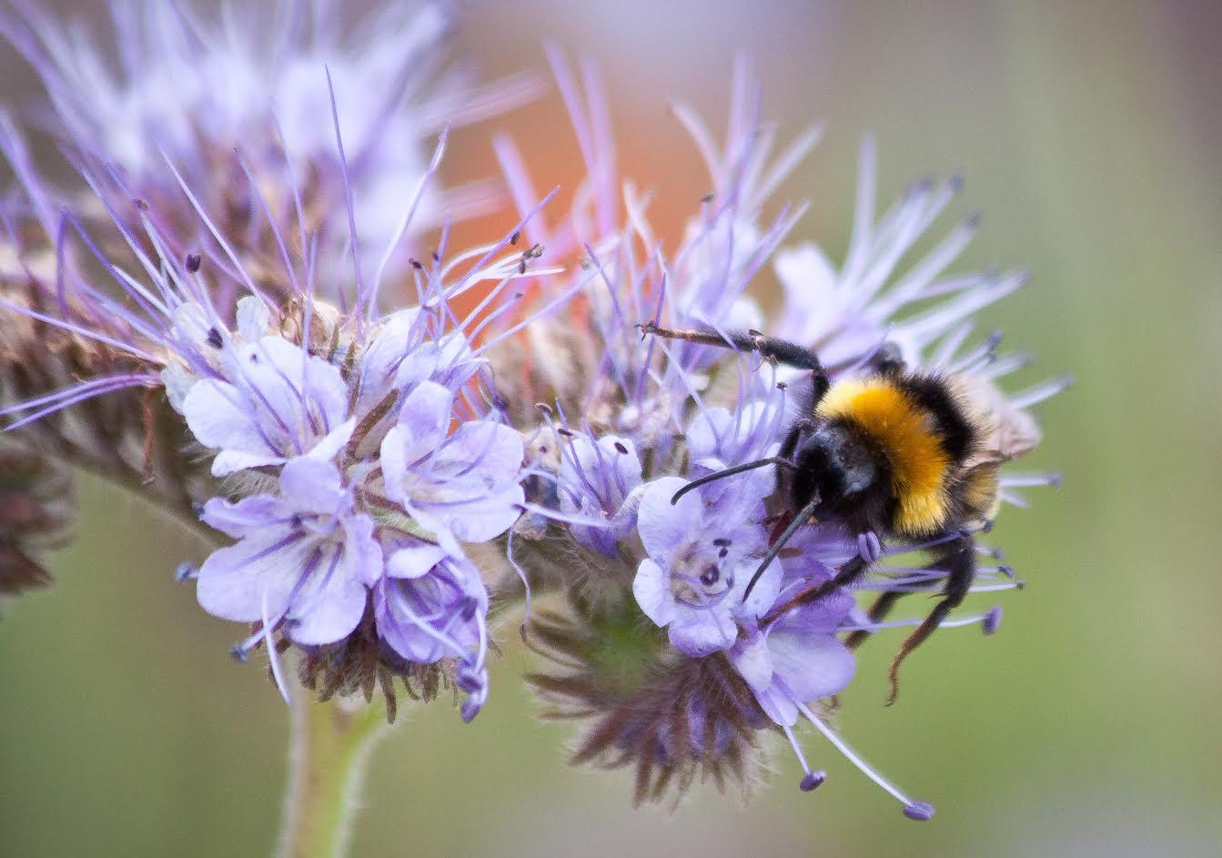 Bee on Phacealia