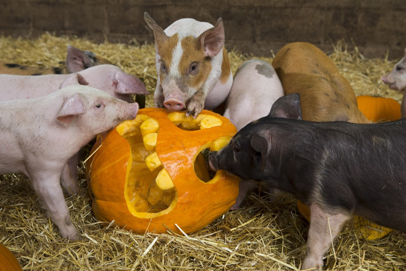 RSPCA Assured farmer gives pigs pumpkins to play with