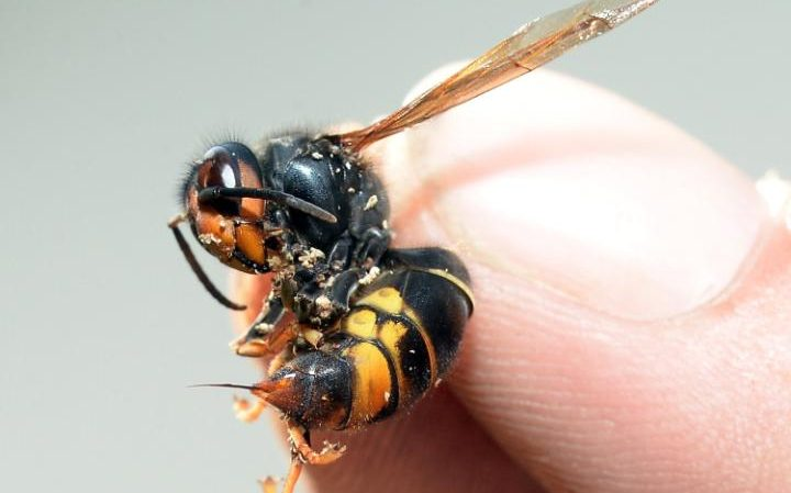 Outbreak of invasive Asian hornets successfully contained by bee inspectors