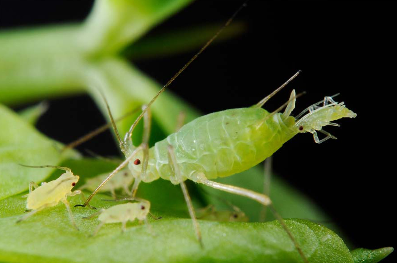 Winter cereal growers urged to remain vigilant against aphid pests after mild autumn