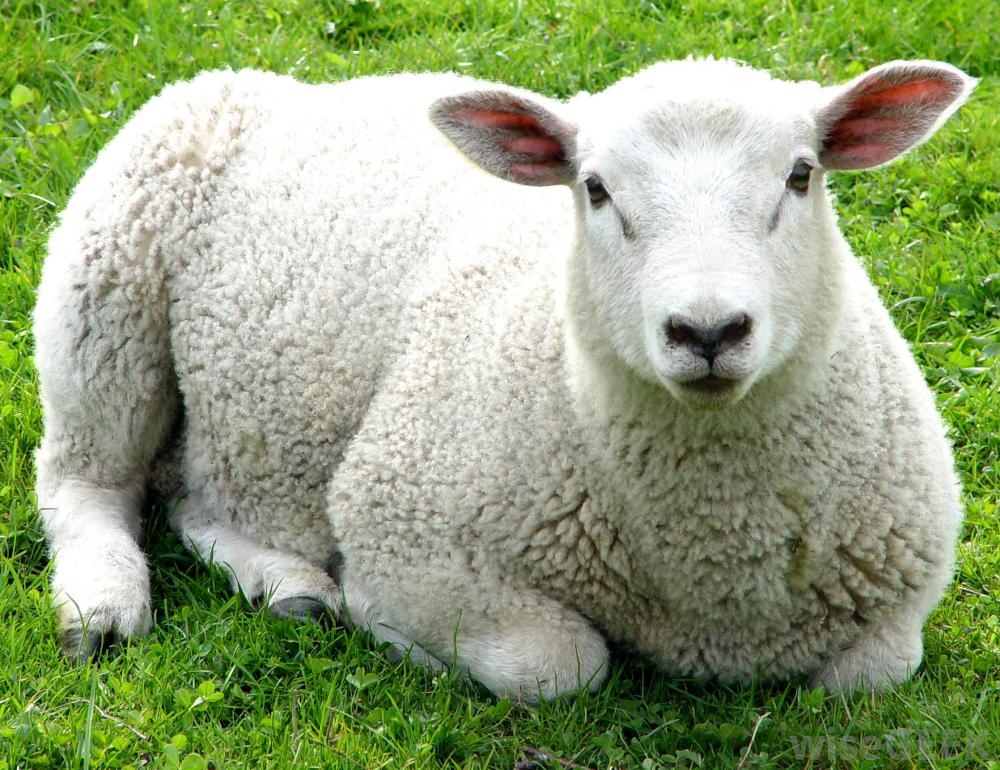 British wool industry urged to cooperate amid market turbulence
