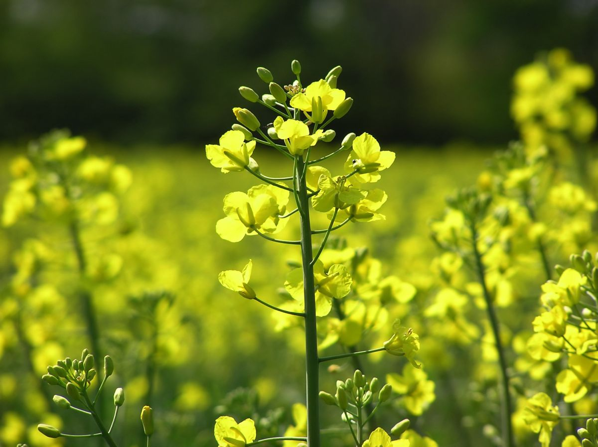 Britain on course for 13-year low in oilseed rape area