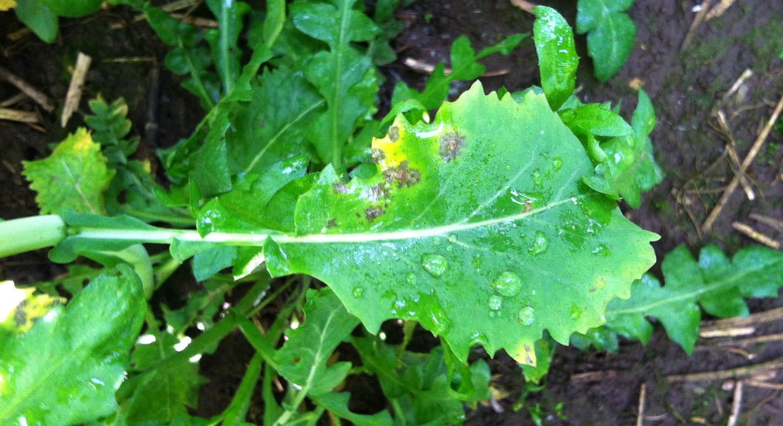 Light leaf spot disease risk high for most GB regions, says forecast