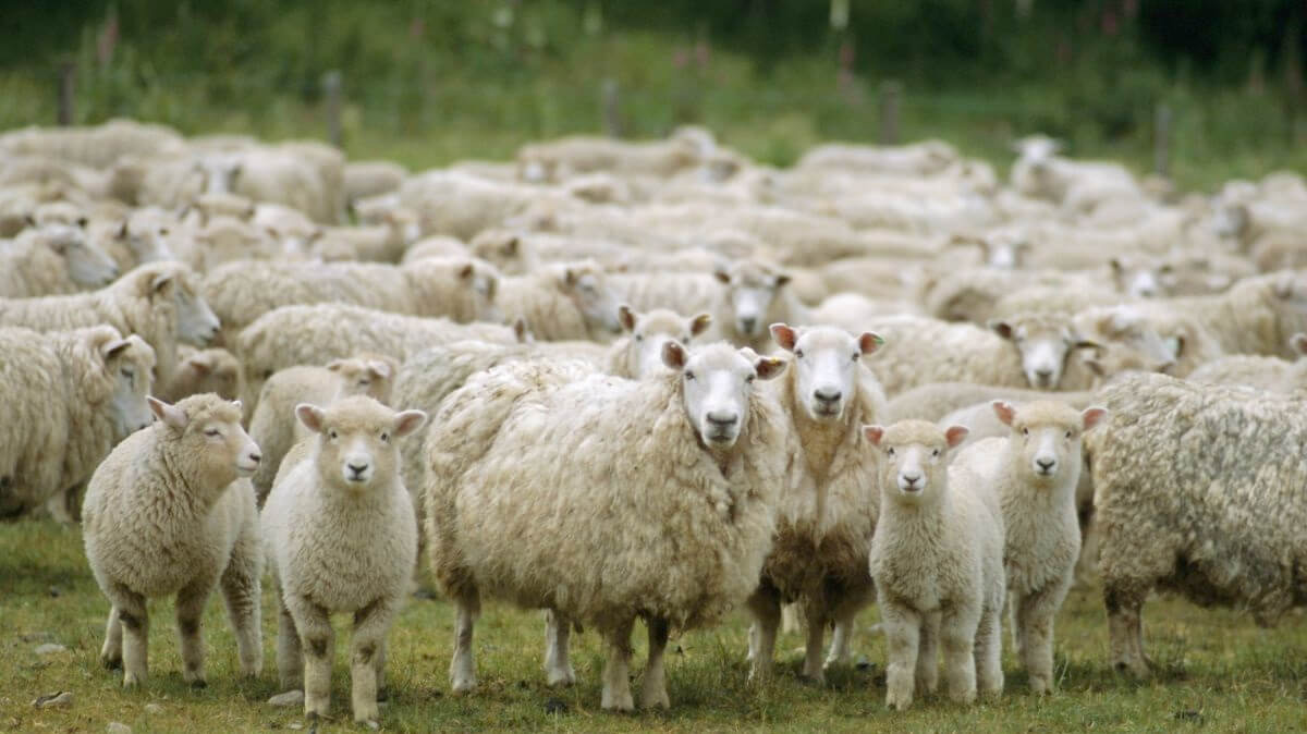 British sheep farmers have 'nothing to fear' over post-Brexit New Zealand deal