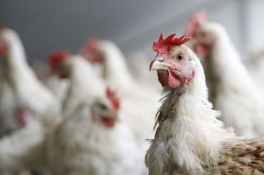 Food service giants pledge to use chickens from reduced stocking densities by 2024