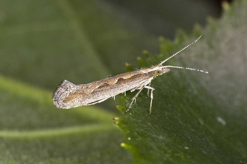 Tests find UK diamond-back moths with resistance to insecticide