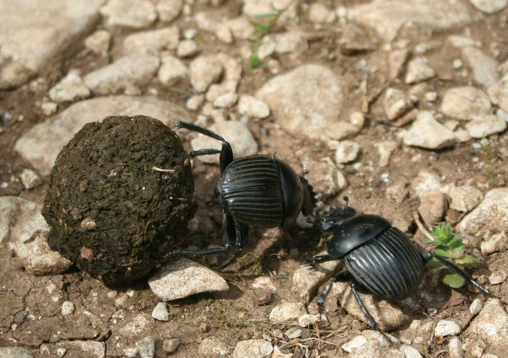 Dung beetles found to reduce survival of livestock parasites, new study shows