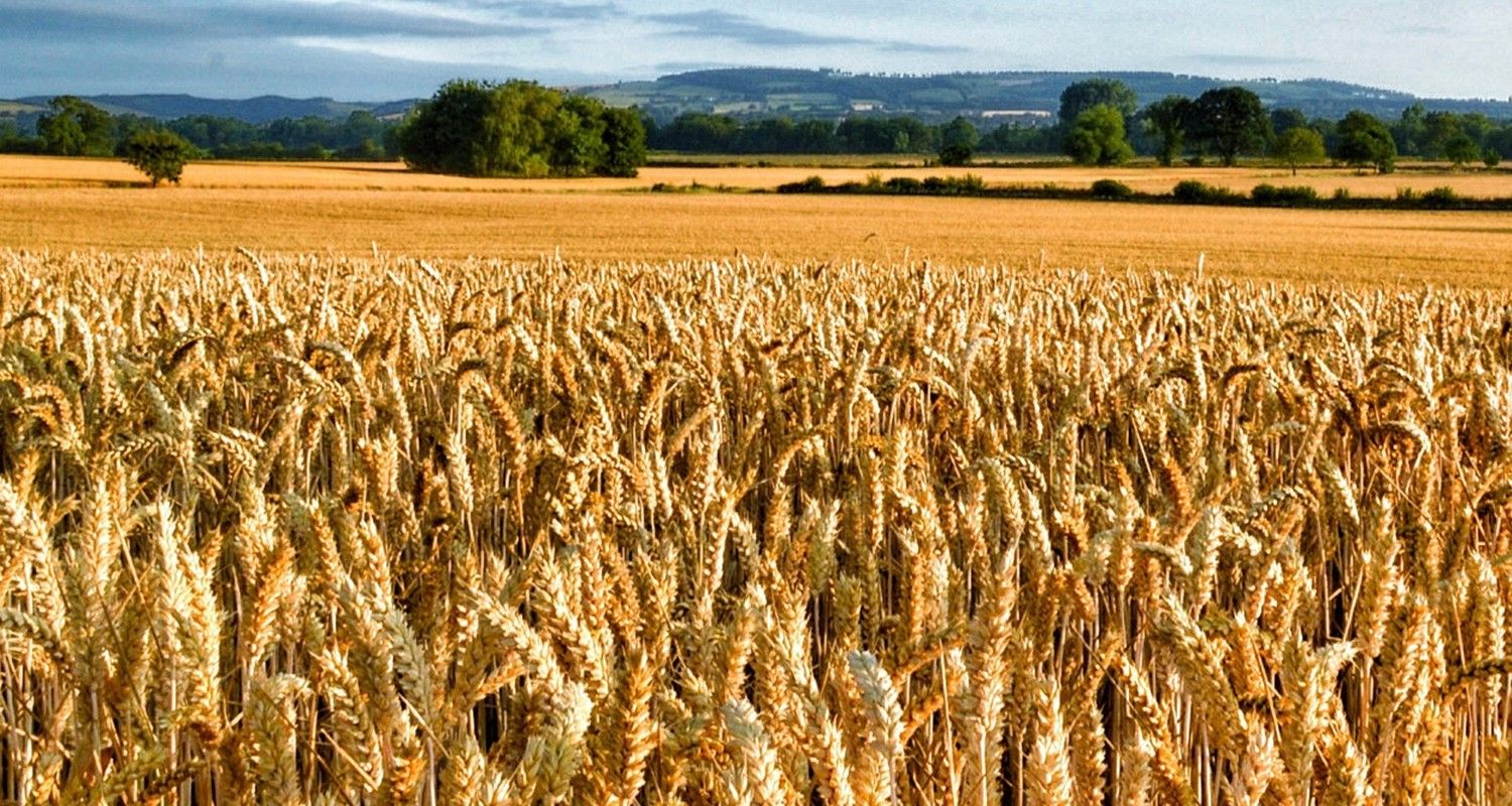 Wheat meeting high quality bread milling specifications highest for 13 years