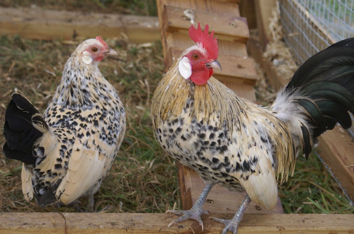 Up to 70 hens stolen from farm in Co Armagh