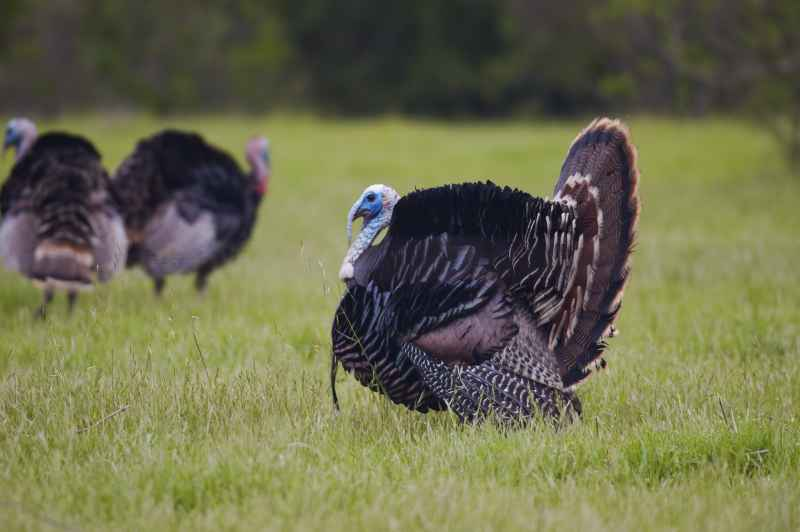 British turkey producer Kelly Bronze breaks through US market in time for Thanksgiving