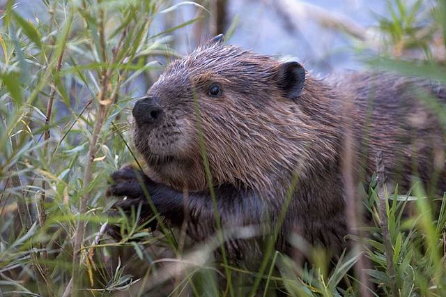 Scottish farmers worry as government reintroduces beavers