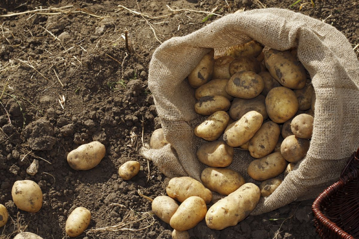 2016 GB total potato production down 5 per cent