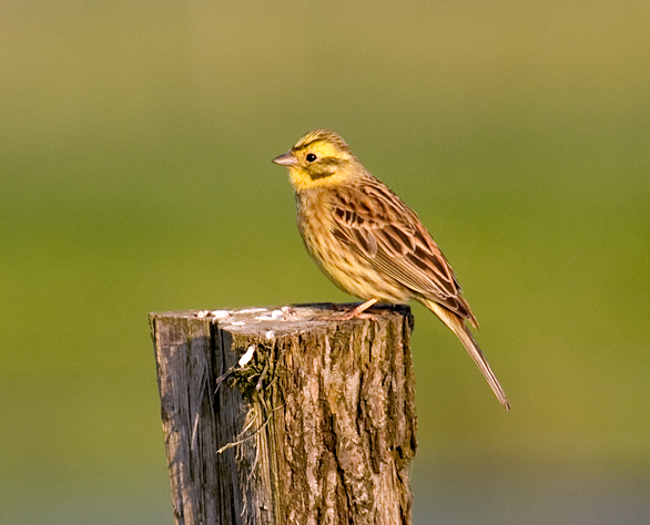 Do you know a Yellowhammer when you see one?