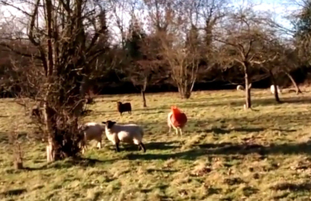 RSPCA finds sheep with cone trapped on its head