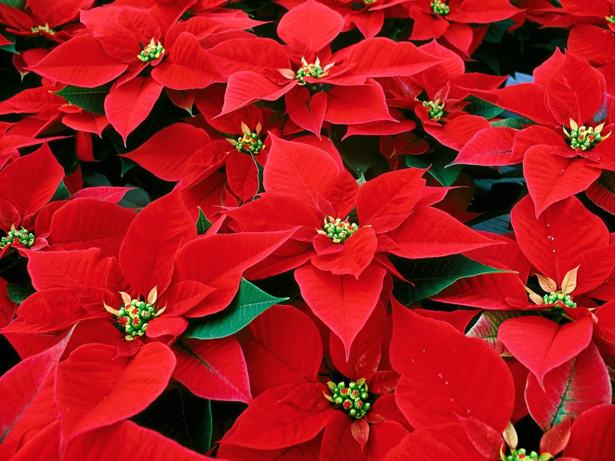 AHDB funded trial highlights new poinsettia varieties with strong commercial promises