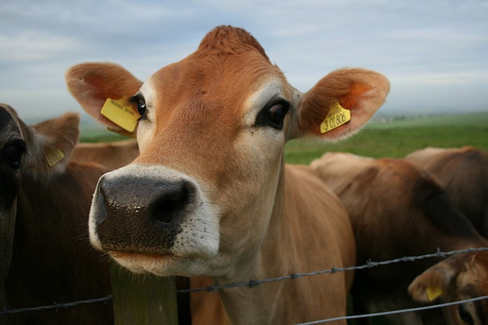 Farm project aims to sell cattle to raise funds for combat vets
