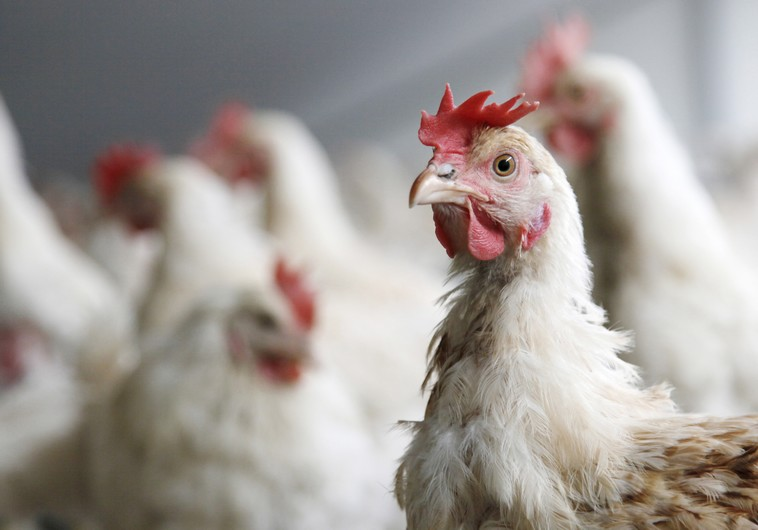Bird flu found on Dutch farm - 63000 broiler hens culled