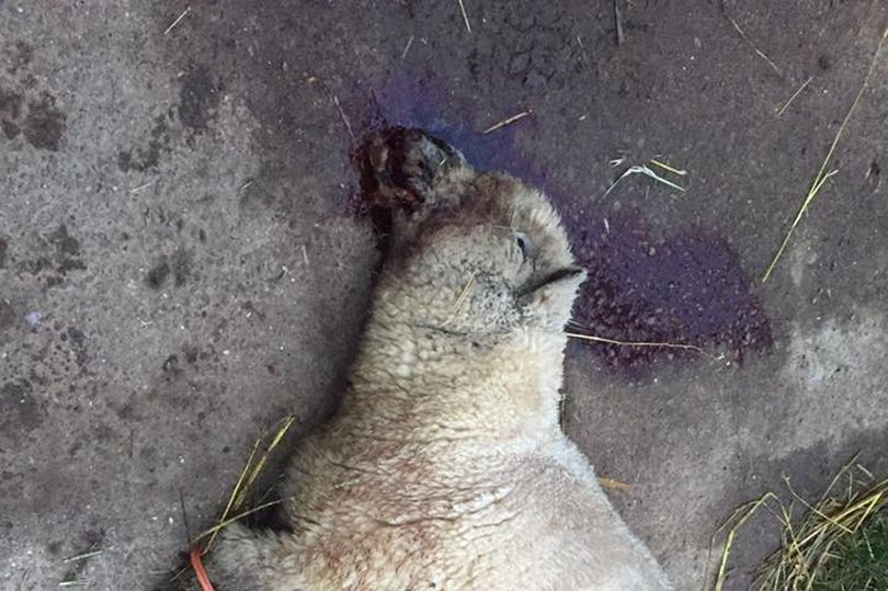 Pregnant sheep put down after 'horrific' dog attack in Leicestershire