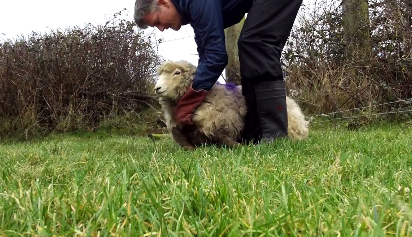 Merry Christmas to ewe! Sheep rescued from tight fix by RSPCA