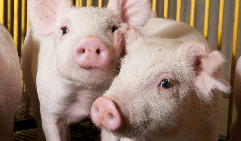The Focus Farm is centred on 'hands-on' involvement and aims to improve physical and financial pig performance