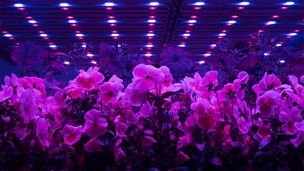Adjusting LED lights can improve crop quality, says research