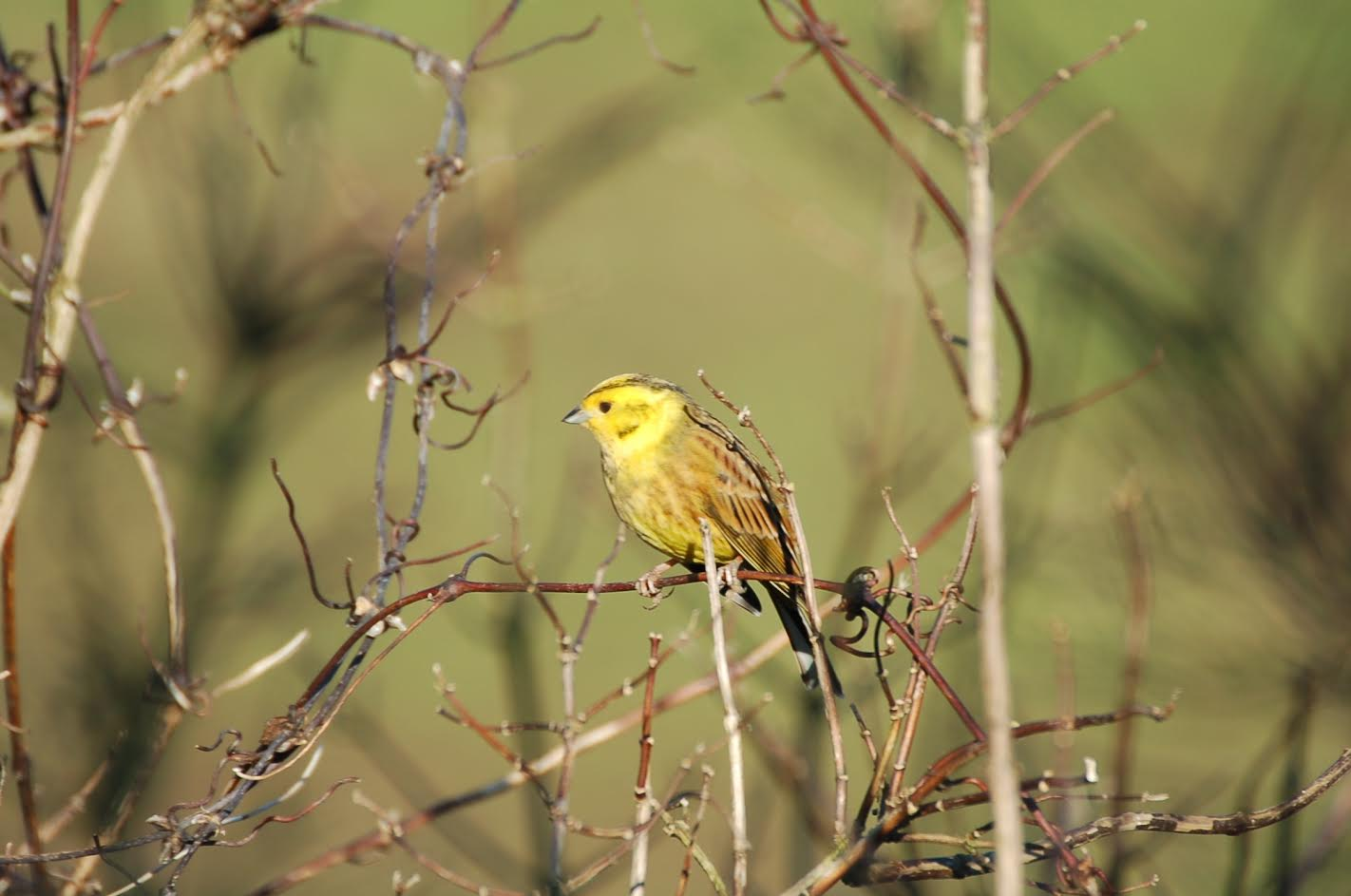 Yellowhammer (Photo: P Thompson GWCT)