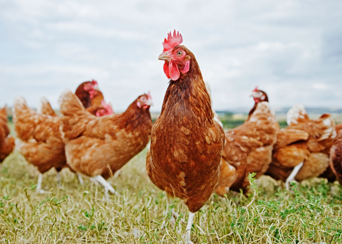 Private poultry keepers are faced with changing the way they usually keep their birds
