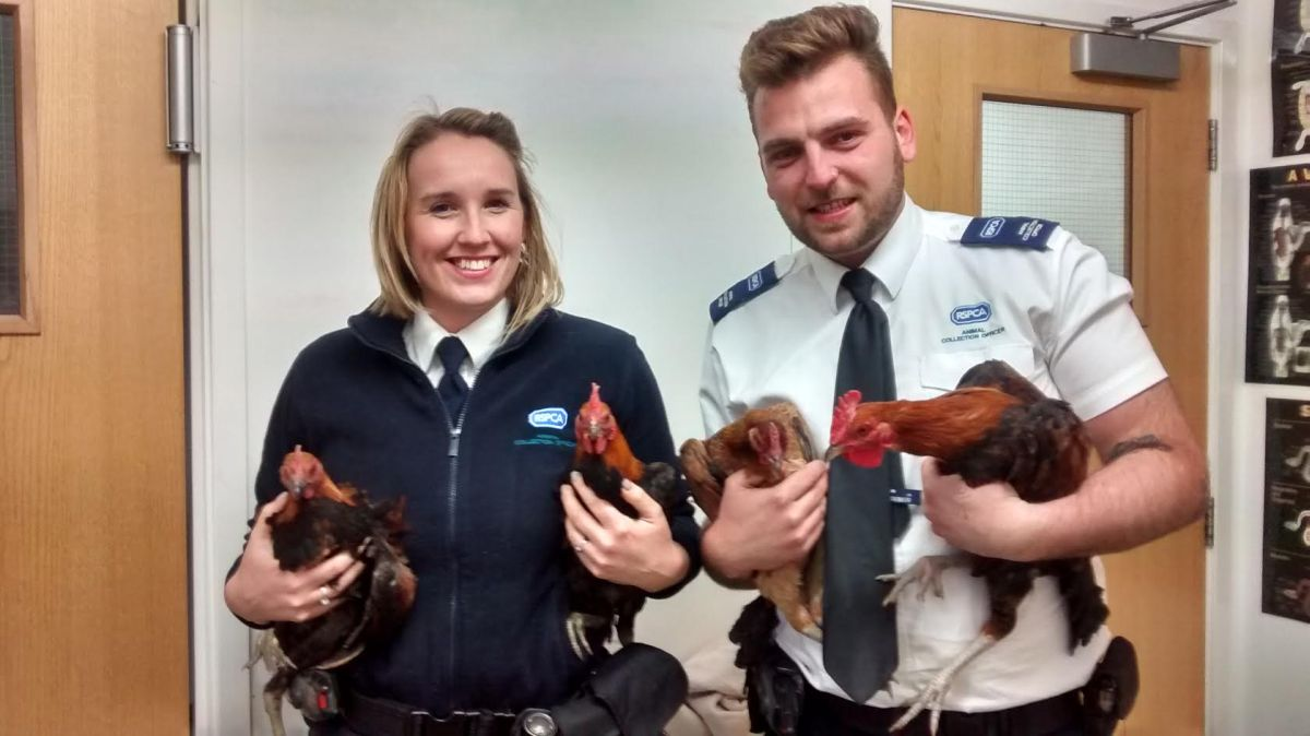 Abandoned chickens round up after running around quiet Essex neighbourhood