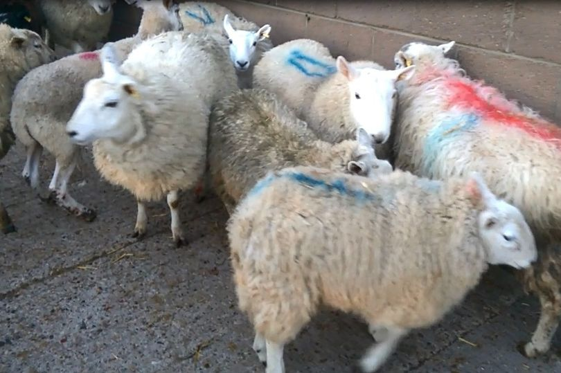 Northumberland farmer fined nearly £4,400 for moving unfit and lame sheep